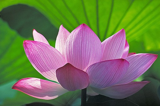 Lotus Flower Buddha Annotate