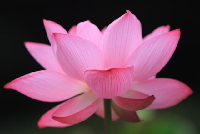 Lotus flower buddhismg hi res 720p hd lotus flower buddhismg mightylinksfo Image collections