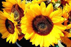 picture sunflower wedding.jpg