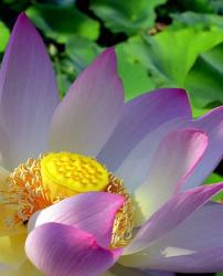 Lotus Flower in purple and bright yellow center.jpg