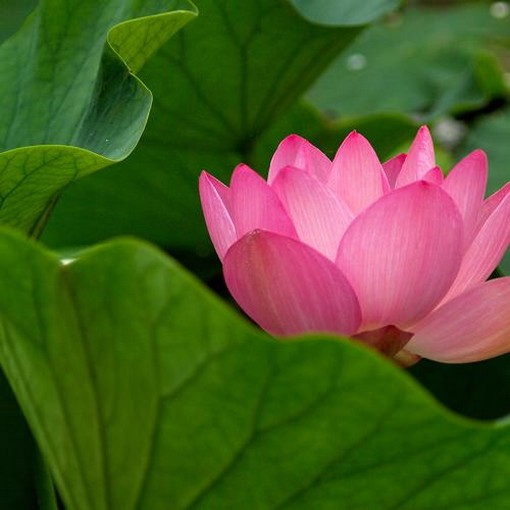 flower water lily, Natural flower