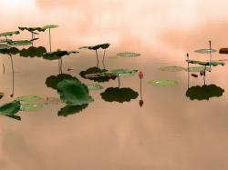 Lotus in pond photo.jpg