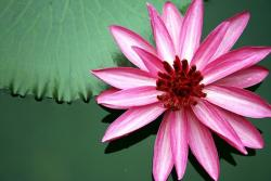 loyus flower in red and pink.jpg