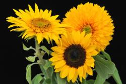 picture of three kinds of sunflowers.jpg