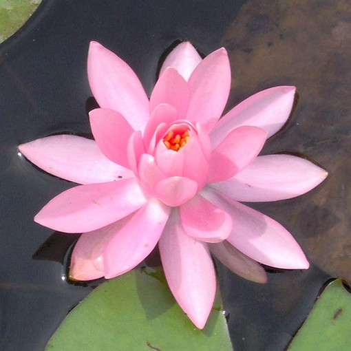 lotus flower, Beautiful flower
