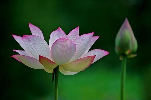 lotus flowers gallery [p. ], Beautiful flower