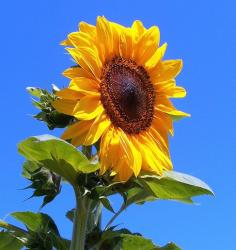 picture of sunflower.jpg