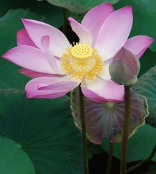 pic of lotus flowers.jpg
