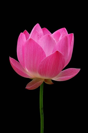 pink flower lotus with stem  comment, Beautiful flower