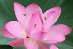 pink lotus with bees.jpg