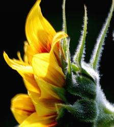 picture of a young sunflower.jpg