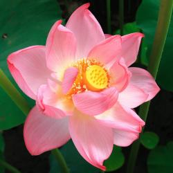 pink lotus with bright yellow center.jpg