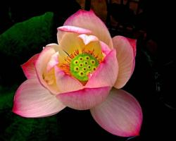pink lotus with green center.jpg