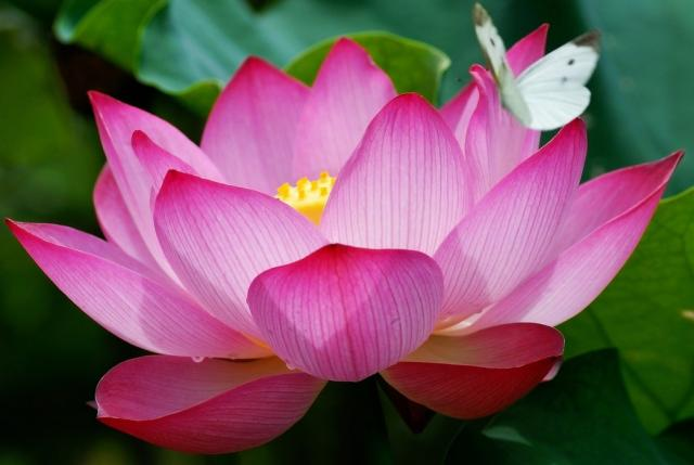 pink lotus with white butterfly.jpg