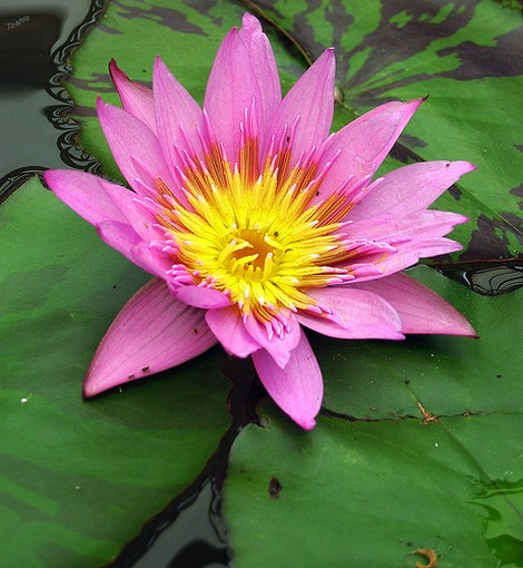Flower lotus in bright pink with yellow eyeg pond flower lotus in bright pink with yellow eyeg mightylinksfo Image collections