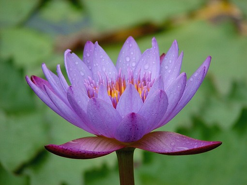 flower lotus, Beautiful flower