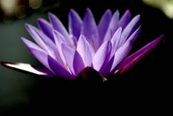 purple lotus flower picture.jpg