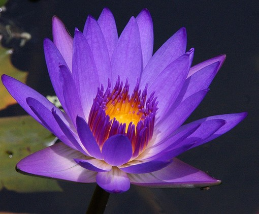 Purple Water Lily photo.jpg (1 comment)