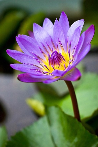real lotus flower  comment, Natural flower