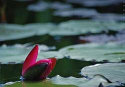 red closed lotus flower.jpg