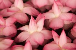 small pink lotus flowers.jpg