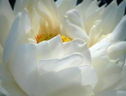 snow white Lotus Flower photo.jpg