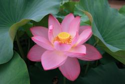 the perfect lotus flower in beautiful pink color with yellow center.jpg