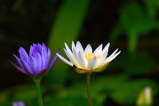 water lilies in blue purple and white.jpg