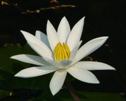 water lilly with yellow eye.jpg