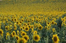 sunflower field picture.jpg
