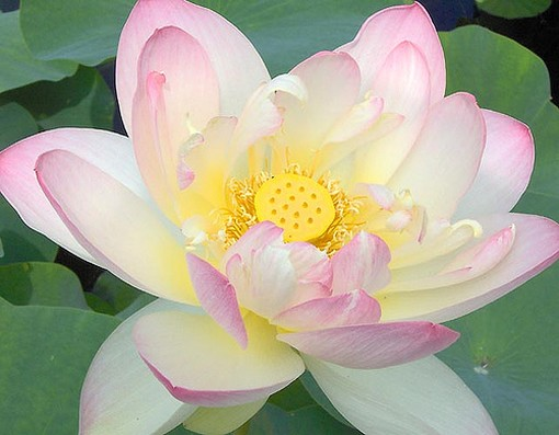 and light pink lotus flower, Natural flower