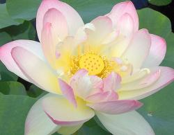 White and light pink Lotus Flower.jpg