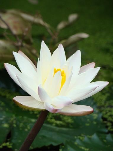 indian lotus photo, Beautiful flower