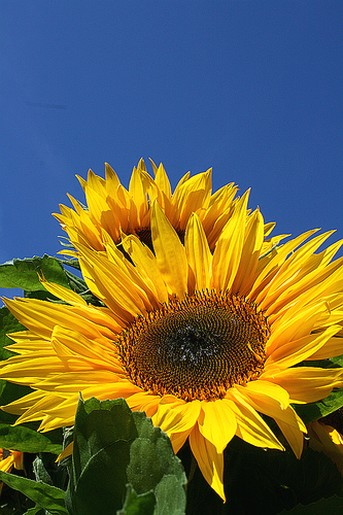 sunflower face.jpg