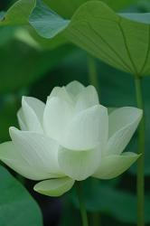 white Lotus flower.jpg