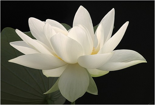 white lotus flower picture  comment, Natural flower