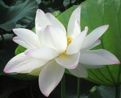 White lotus flower with yellow center.jpg