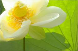 white lotus flower with yellow eye.jpg