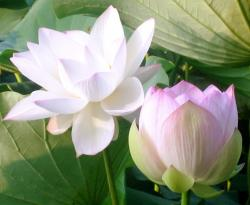 white lotus flowers picture.jpg
