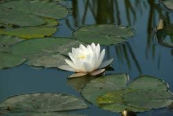 white lotus in pond picture.jpg