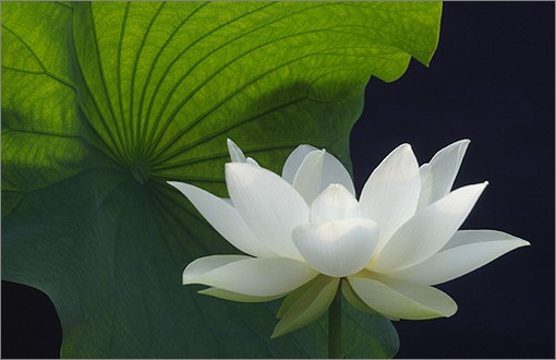 white lotus with big green leaf  comment, Natural flower