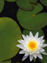 white water lily photo.jpg