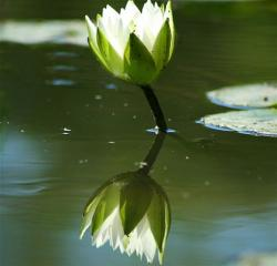 wild flower lotus in pond.jpg