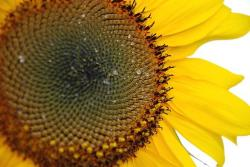 sunflower face close up.jpg