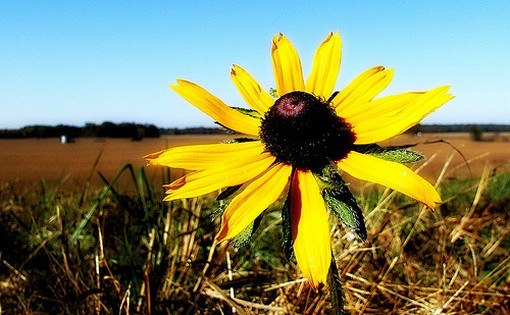 big yellow flower wild.jpg