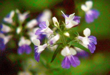 blue eyed mary flowers picture.jpg