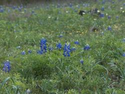 blue wildflower picture.jpg