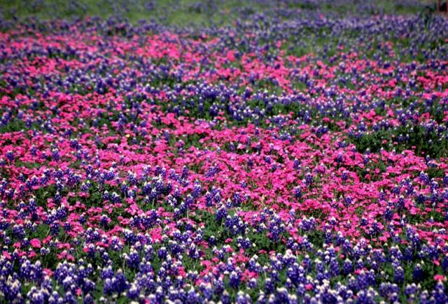 bright pink and purple wildflowers field.jpg