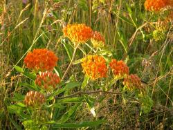 Butterfly Weed picture.jpg