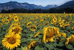 sunflowers field with moutain in the background.jpg
